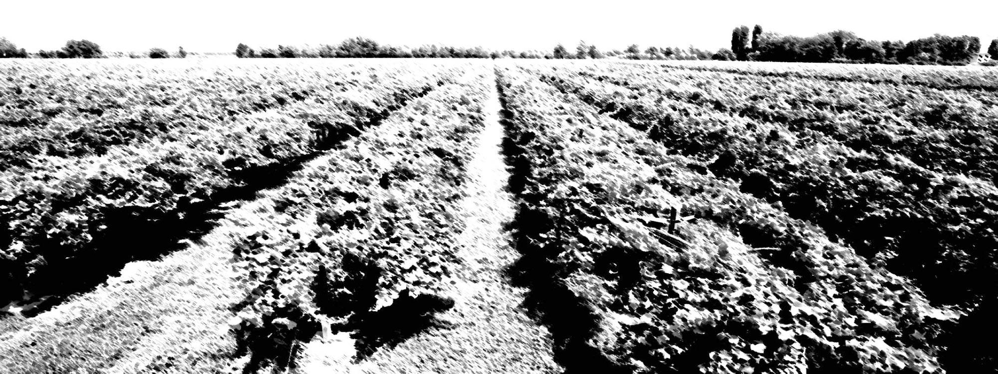 I nostri terreni di coltivazione dell'uva